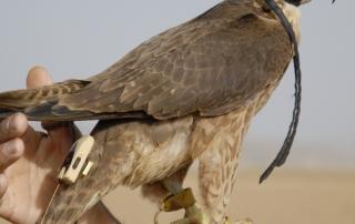faucon avec stratus I tx
