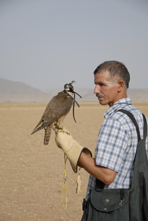 faucon avec stratus II tx