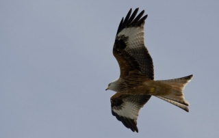 black kite flying with alteos 18 argos gps and vhf ptt