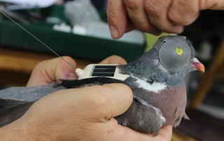 Common wood pigeon handed to install with alteos 18 argos gps and vhf ptt