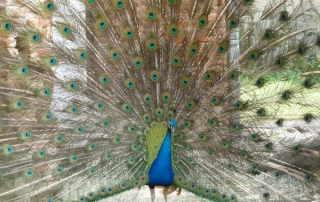 Indian Peafowl walking with alteos 18 argos gps and vhf ptt
