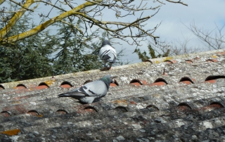Rock dove walking on the roof with alteos 18 argos gps and vhf ptt